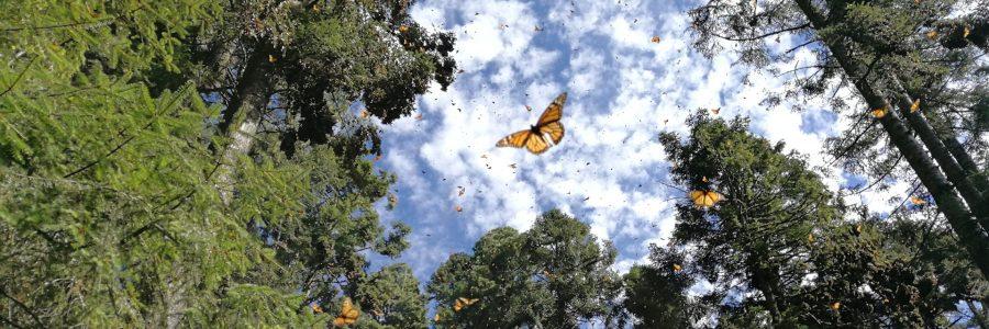 Como llegar al Santuario de la Mariposa Monarca y donde hospedarse